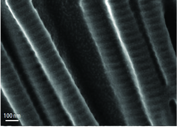 FIgure 14. Collagen fibrils with D-periodicity which are imbedded in a 3-D cross-bridge network containing nanostructures of ~5 nm in diameter, 500V, 30 pA: highly detailed images at low kV / low beam current conditions.